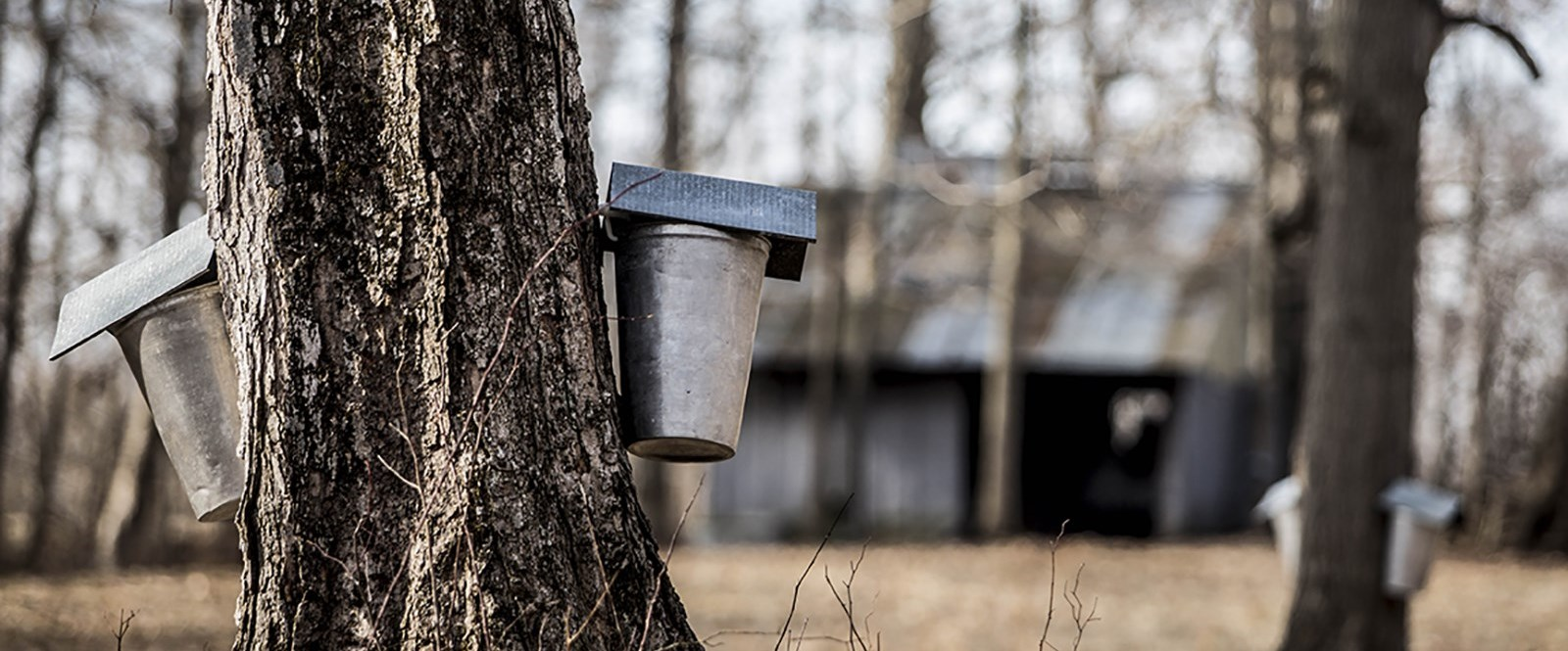photo of trees with sap buckets
