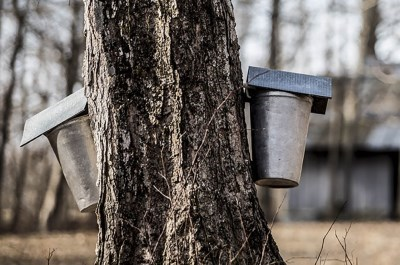 bucket hanging on the side of a maple tree