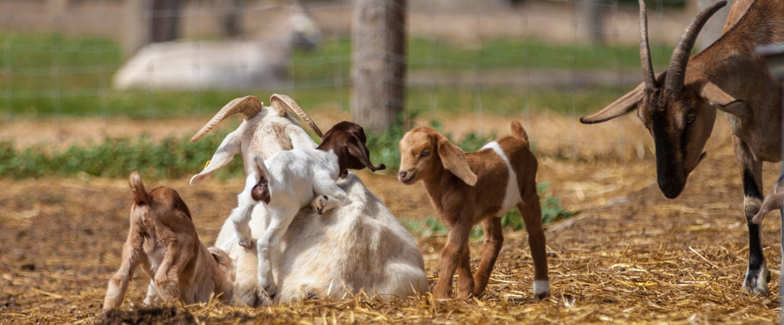 baby goats playing in pen