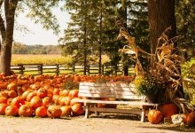 bench in front of a lawn full of pumpkins