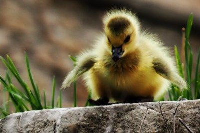 baby duck standing on ledge
