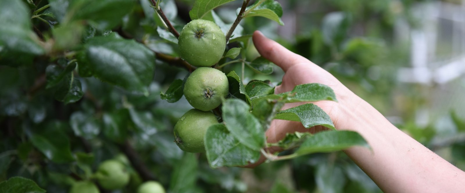 hand reaching for green apples in a tree