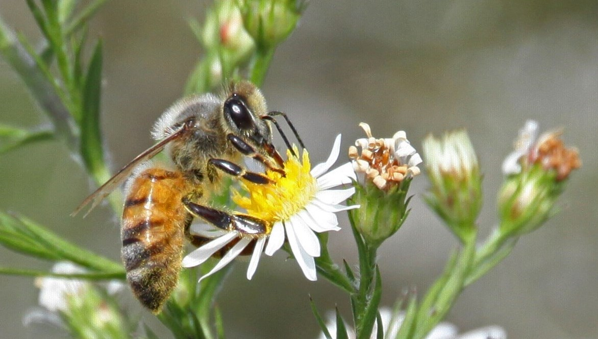 bee drinking nectar from a flower