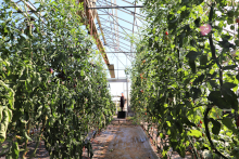 inside a greenhouse with tall tomato vines