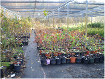 Potted hardwood species in the shade house at Green Legacy Programme