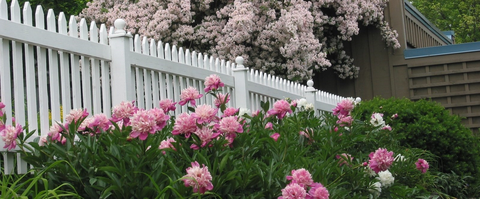 Pink and white peonies in full bloom with white picket fence and lilacs in background