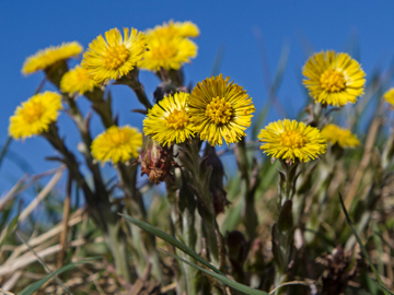 Picture of Coltsfoot