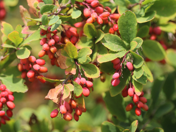 Picture of Common Barberry
