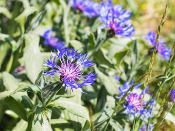 Picture of Knapweed