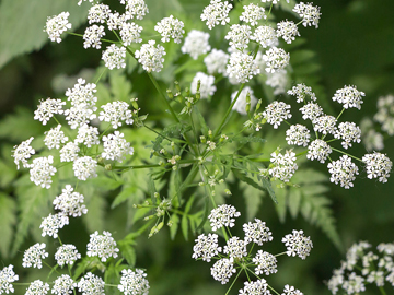 Picture of Poison Hemlock